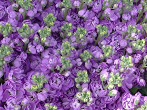 Фото Маттиола Вблизи Фиолетовый Цветы