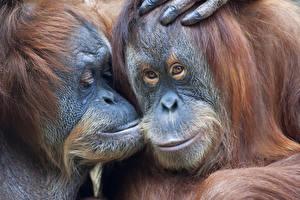 Фотография Обезьяны 2 Смотрит Orangutan Животные