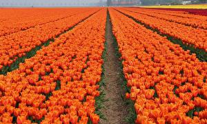 Картинка Нидерланды Поля Тюльпаны Много Оранжевый Keukenhof Цветы