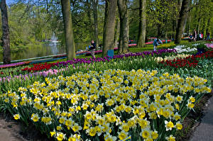 Обои Нидерланды Парки Нарциссы Тюльпаны Дизайн Keukenhof Lisse Природа