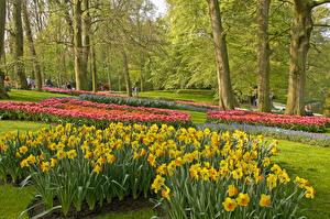 Фотографии Нидерланды Парки Весна Нарциссы Дизайн Деревья Keukenhof Lisse Природа