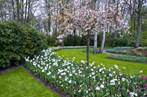 Картинки Нидерланды Парки Весенние Цветущие деревья Гиацинты Тюльпаны Keukenhof Lisse Природа