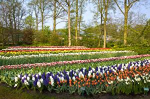 Обои Нидерланды Парки Весенние Гиацинты Тюльпаны Деревья Дизайн Keukenhof Lisse