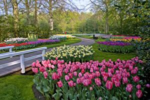 Фотография Нидерланды Парки Весенние Тюльпаны Нарциссы Keukenhof Lisse