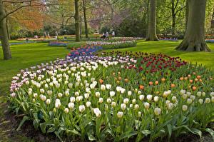 Фотография Нидерланды Парки Весенние Тюльпаны Keukenhof Lisse