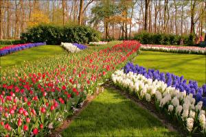 Картинка Нидерланды Парки Тюльпаны Гиацинты Keukenhof Природа