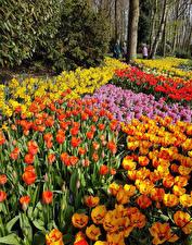 Фото Нидерланды Парки Тюльпаны Много Keukenhof Lisse