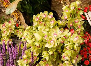 Обои Орхидеи Цветы картинки