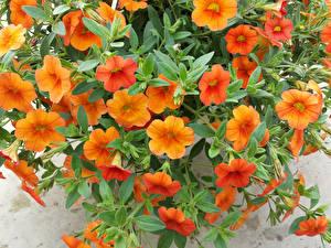 Обои Петунья Крупным планом Оранжевых цветок