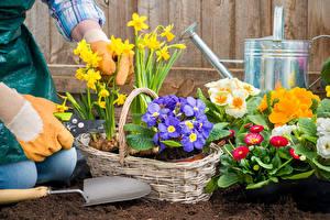 Фотография Первоцвет Нарциссы Маргаритка Корзинка Цветы