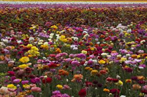 Фото Лютик Много Разноцветные Цветы