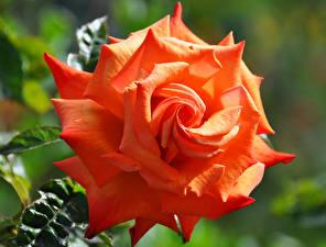 Обои Роза Крупным планом Оранжевые Цветы