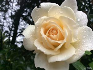 Картинки Розы Крупным планом Белый Капли Цветы