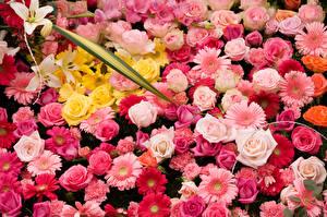 Фотография Розы Герберы Много Цветы