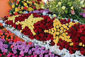 Картинки Розы Много Дизайн Pasadena Цветы