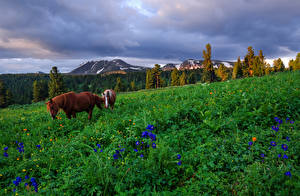 Фотографии Россия Сибирь Горы Лошади Луга Трава Altai Mountains Природа