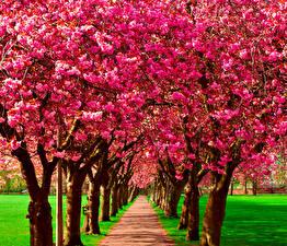 Картинка Весенние Цветущие деревья Аллея Природа