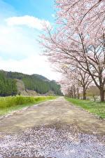 Фотографии Весенние Цветущие деревья Дороги Лепестки Природа