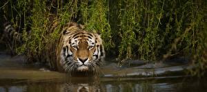 Обои Тигры Взгляд Животные картинки
