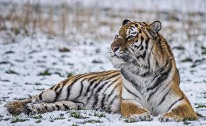 Фото Тигры Снег Животные