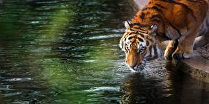 Картинка Тигр Вода Пьет воду Животные