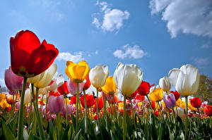 Картинки Тюльпаны Вблизи Много Небо Цветы