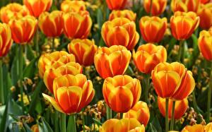 Обои Тюльпаны Крупным планом Оранжевый Цветы