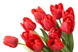 Картинка Тюльпаны Вблизи Белый фон Красный Цветы
