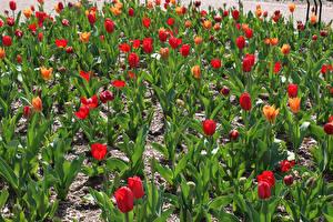 Картинка Тюльпаны Много Цветы