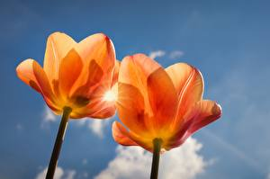 Картинки Тюльпаны Оранжевый 2 Цветы