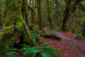 Картинка Штаты Парки Деревья Мох Olympic National Park
