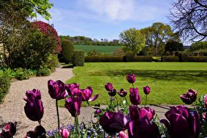 Картинка Великобритания Сады Тюльпаны Кусты Газон Felley Priory Gardens Природа