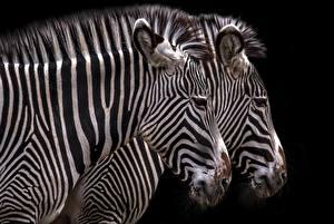 Фотография Зебры Вдвоем Черный фон Голова Животные