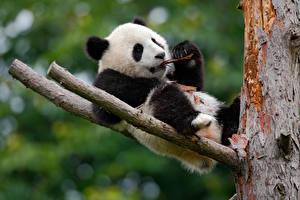Фото Медведи Бамбуковый медведь Ветвь Животные