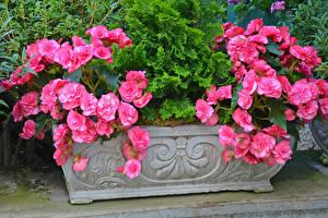 Картинка Бегония Розовый Цветы