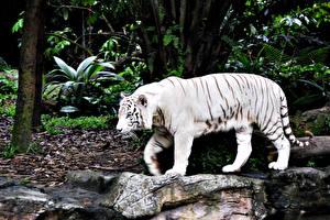 Фотографии Большие кошки Тигры Белый