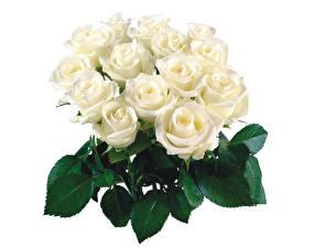 Обои Букеты Розы Вблизи Белый фон Белый