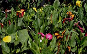 Обои Каллы Листья Цветы