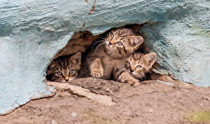 Фото Кошки Пещера Котята Трое 3 Смотрит Животные