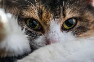 Обои Кошки Крупным планом Глаза Взгляд