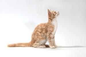 Картинки Кошки Сером фоне Сидя Смотрит Животные