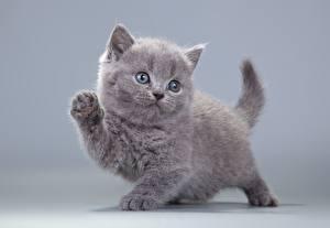 Фотографии Кошки Серый Взгляд