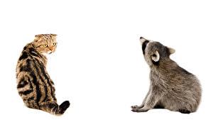Фотография Коты Еноты Белый фон Двое Животные