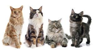 Фотографии Кошка Белый фон Смотрит Котенок животное