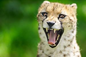 Фото Гепарды Язык (анатомия) Зевает Морда Смешные Животные