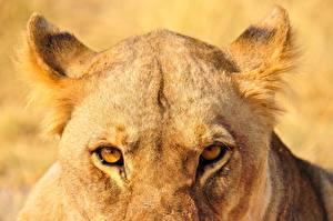Обои Вблизи Глаза Львы Львица Смотрит Животные
