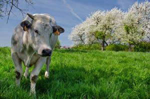 Картинка Корова Трава Спереди Животные