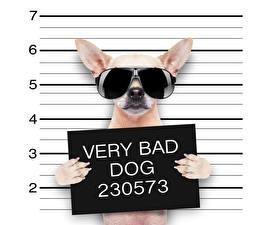 Картинка Креатив Собаки Смешные Чихуахуа Очки Английский Лапы Животные