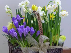 Обои Шафран Нарциссы Птенец курицы Бантик Цветы