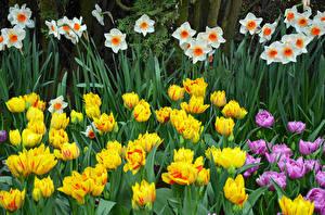 Картинки Нарциссы Тюльпаны